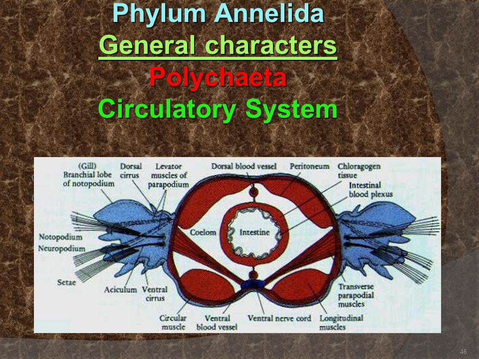 Phylum Annelida General characters Polychaeta Circulatory System  Closed system  Use hemoglobin as oxygen carrier. 46