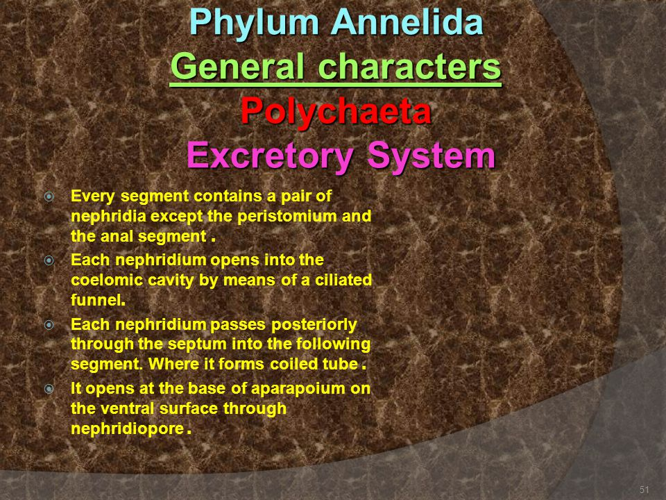 Phylum Annelida General characters Polychaeta Excretory System  Every segment contains a pair of nephridia except the peristomium and the anal segmen