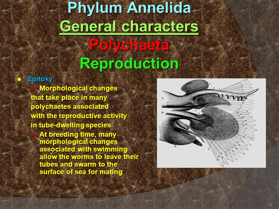 Phylum Annelida General characters Polychaeta Reproduction  Epitoky  Morphological changes that take place in many polychaetes associated with the r