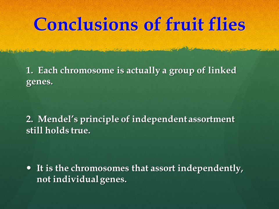 Conclusions of fruit flies 1. Each chromosome is actually a group of linked genes. 2. Mendel's principle of independent assortment still holds true. I
