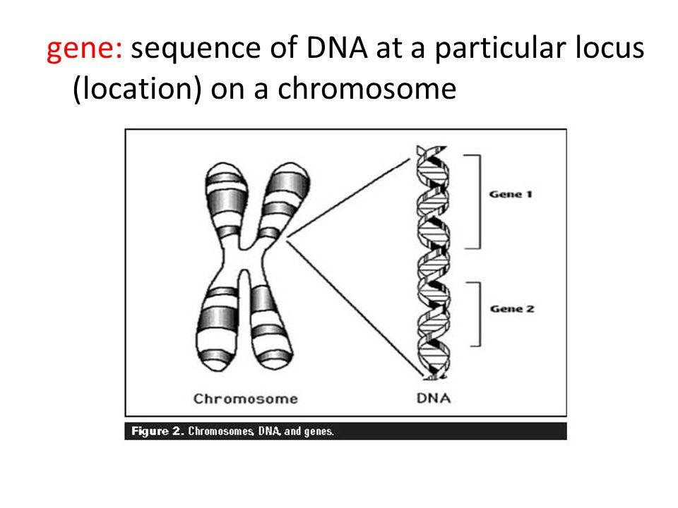 gene: sequence of DNA at a particular locus (location) on a chromosome