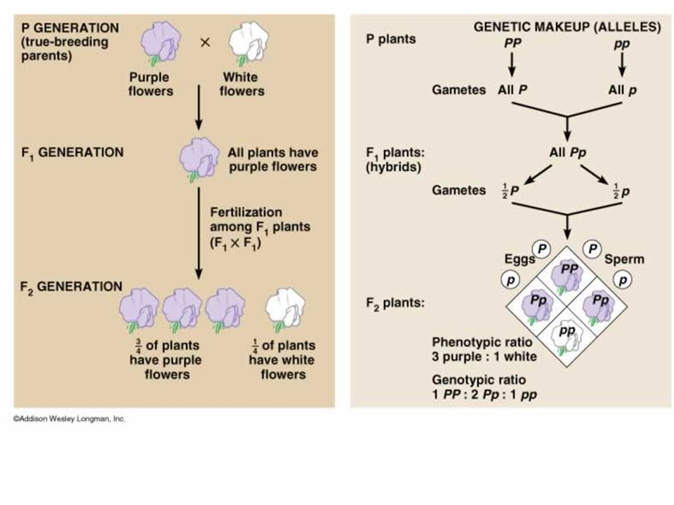 Genes and their alleles are not always as simple as dominant versions and recessive versions Environment and other genes can affect how genes are expressed