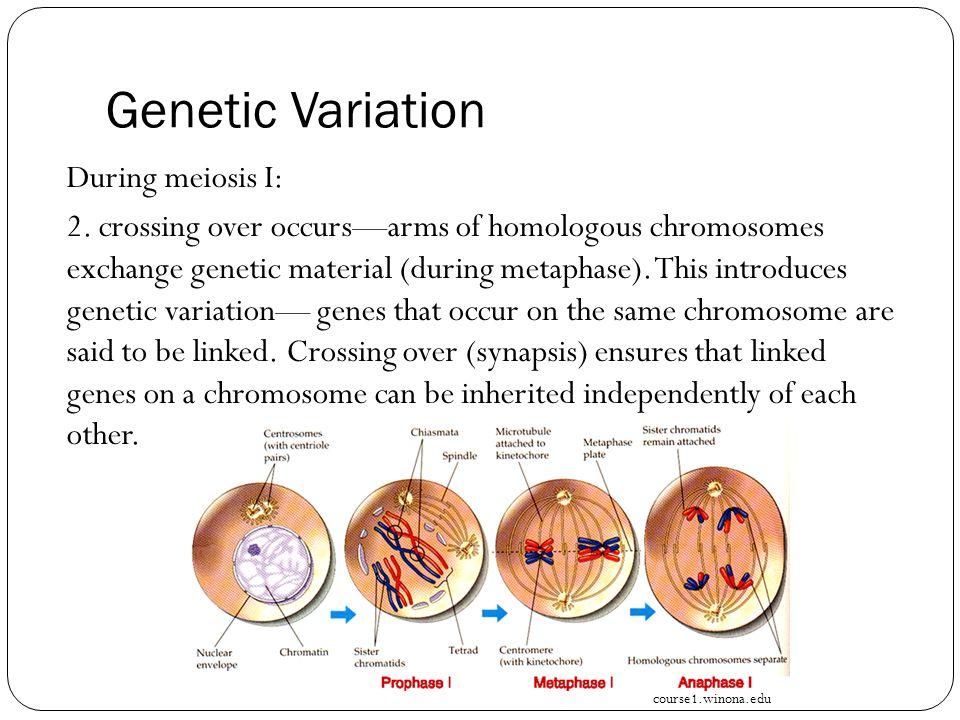 Genetic Variation During meiosis I: 2.