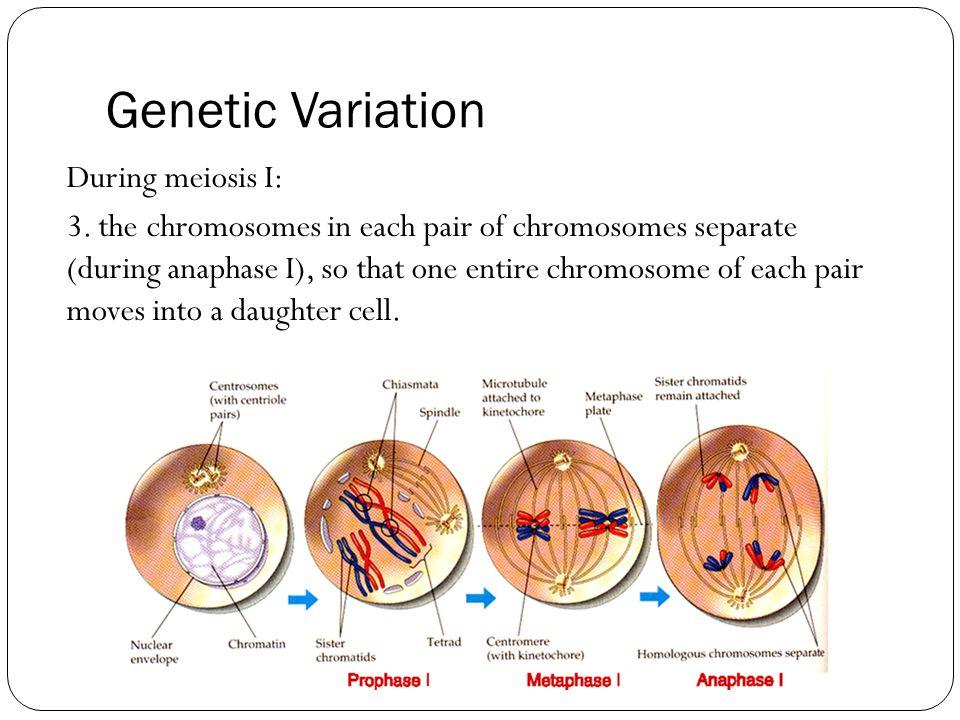 Genetic Variation During meiosis I: 3.