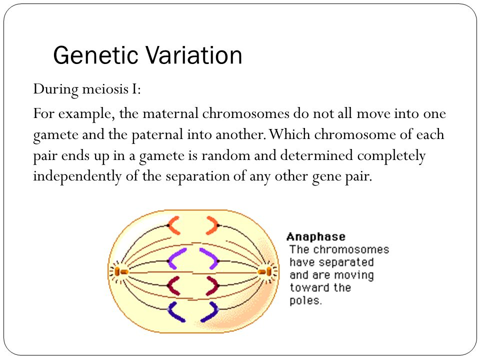 Genetic Variation During meiosis I: For example, the maternal chromosomes do not all move into one gamete and the paternal into another.