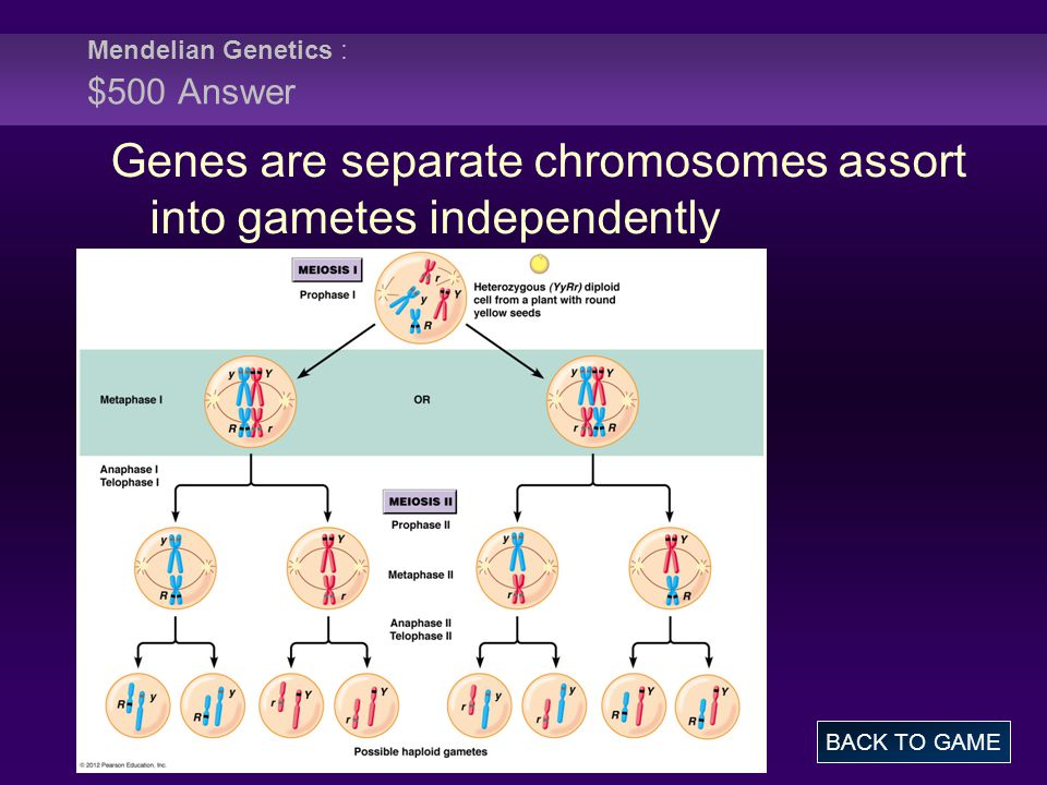 Mendelian Genetics : $500 Answer BACK TO GAME Genes are separate chromosomes assort into gametes independently