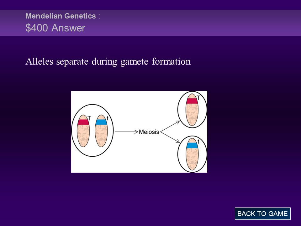 Mendelian Genetics : $400 Answer BACK TO GAME Alleles separate during gamete formation