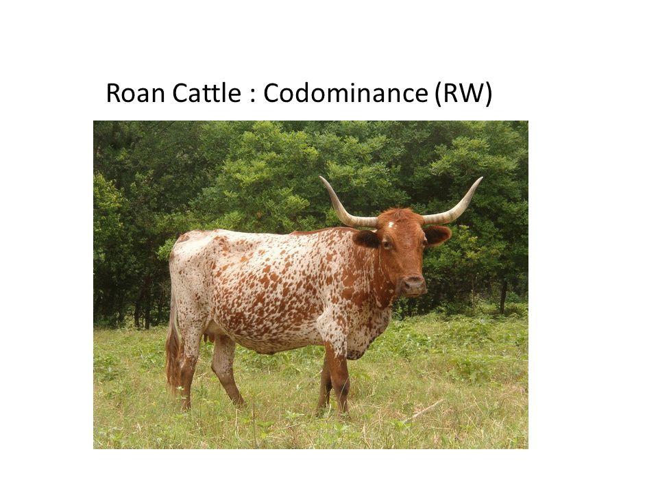 Roan Cattle : Codominance (RW)