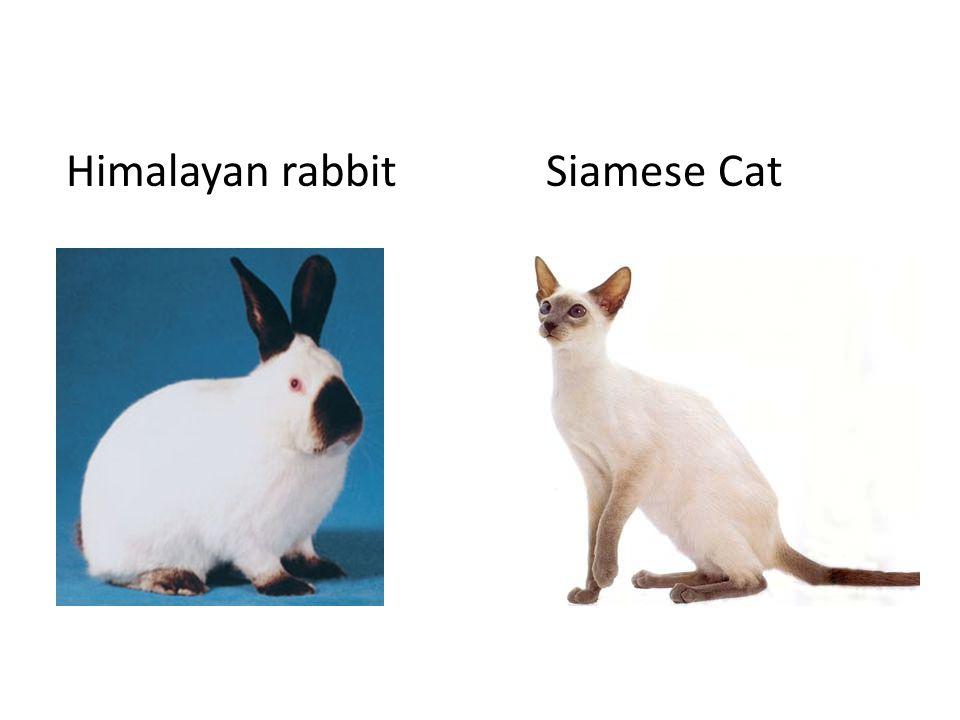 Himalayan rabbitSiamese Cat