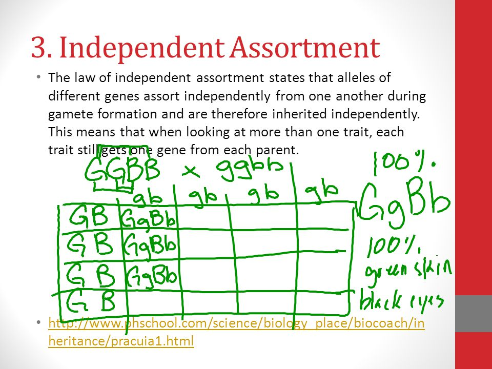 3. Independent Assortment The law of independent assortment states that alleles of different genes assort independently from one another during gamete