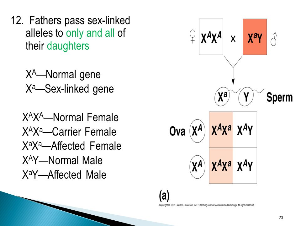 12. Fathers pass sex-linked alleles to only and all of their daughters X A —Normal gene X a —Sex-linked gene X A X A —Normal Female X A X a —Carrier F