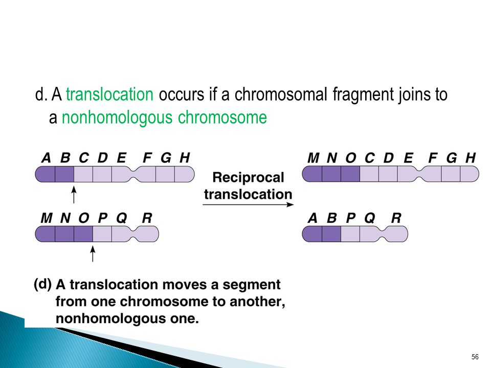 d. A translocation occurs if a chromosomal fragment joins to a nonhomologous chromosome 56