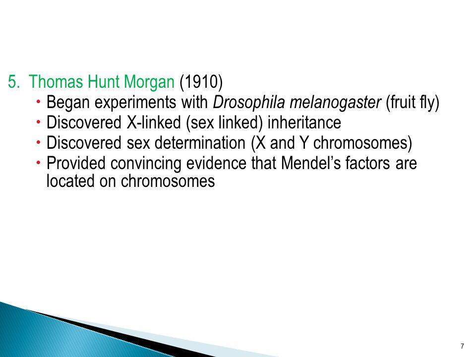 5. Thomas Hunt Morgan (1910)  Began experiments with Drosophila melanogaster (fruit fly)  Discovered X-linked (sex linked) inheritance  Discovered