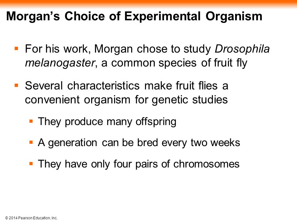 © 2014 Pearson Education, Inc. Morgan's Choice of Experimental Organism  For his work, Morgan chose to study Drosophila melanogaster, a common specie
