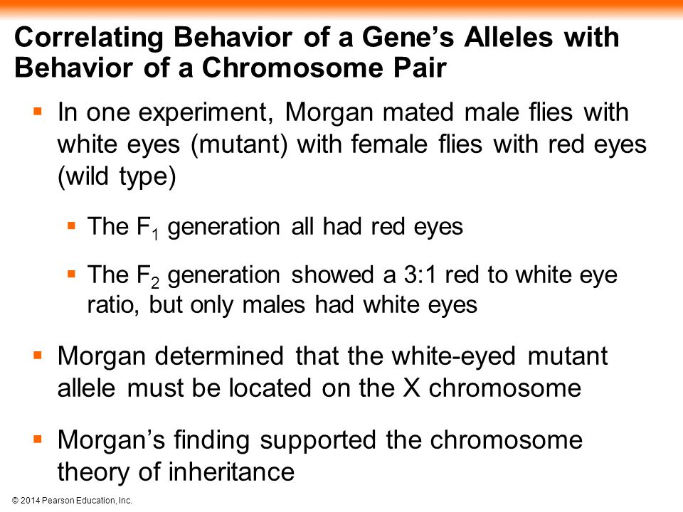 © 2014 Pearson Education, Inc. Correlating Behavior of a Gene's Alleles with Behavior of a Chromosome Pair  In one experiment, Morgan mated male flie