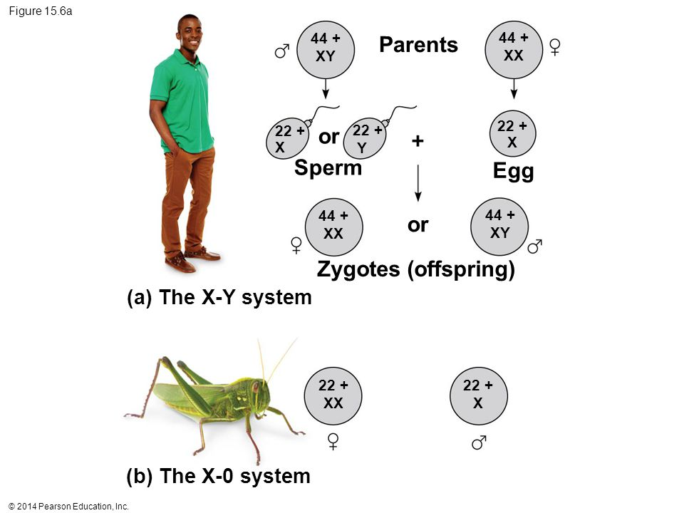 © 2014 Pearson Education, Inc. Figure 15.6a Parents (a) The X-Y system (b) The X-0 system or Zygotes (offspring) or Sperm Egg 44 + XY 44 + XX 22 + X 2