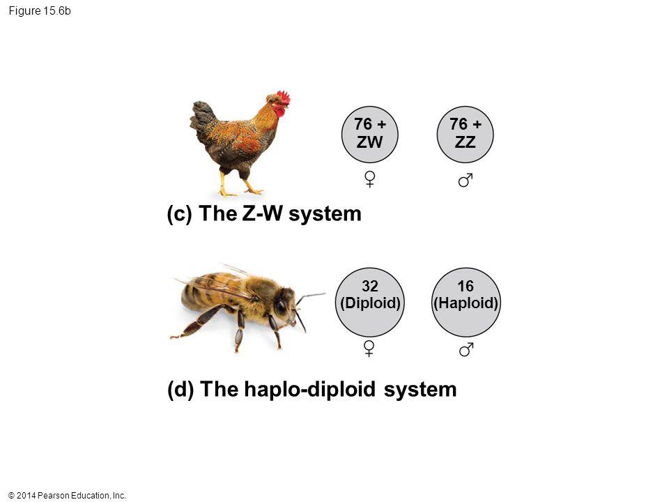 © 2014 Pearson Education, Inc. Figure 15.6b (c) The Z-W system (d) The haplo-diploid system 76 + ZW 76 + ZZ 32 (Diploid) 16 (Haploid)
