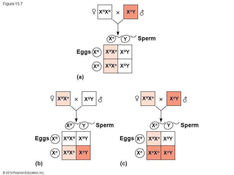 © 2014 Pearson Education, Inc. Figure 15.7 (a) (b) (c) Sperm Eggs XNXNXNXN XnYXnY XNXnXNXn XNXnXNXn XNYXNY XNYXNY XNYXNY XnYXnY XNYXNY XnYXnY XNYXNY X