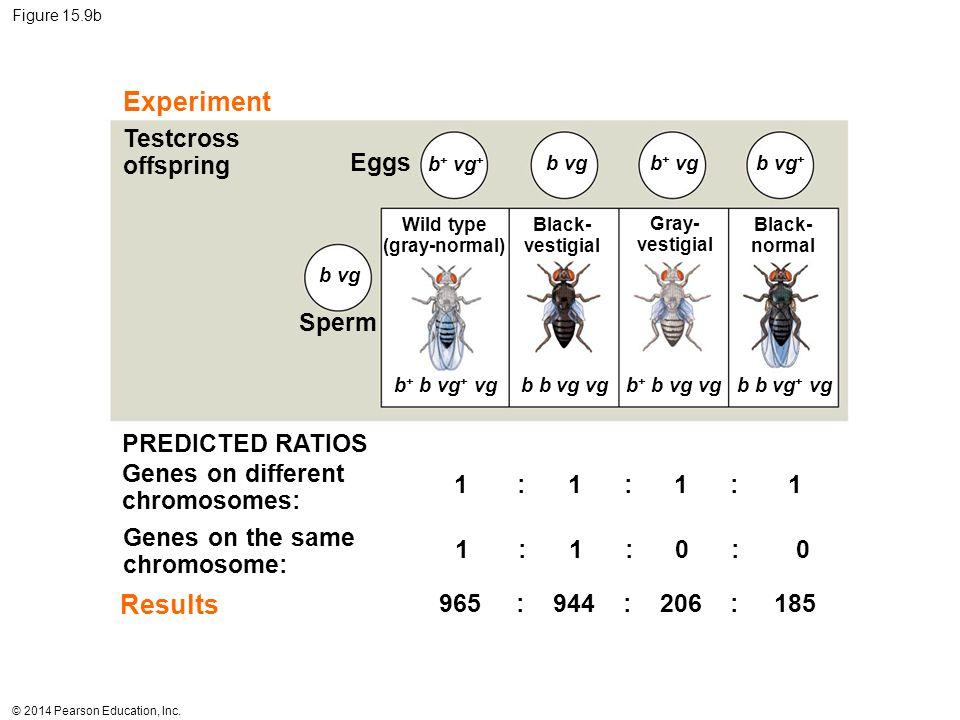 © 2014 Pearson Education, Inc. Figure 15.9b Experiment Results Testcross offspring Eggs Sperm Wild type (gray-normal) Black- vestigial Gray- vestigial