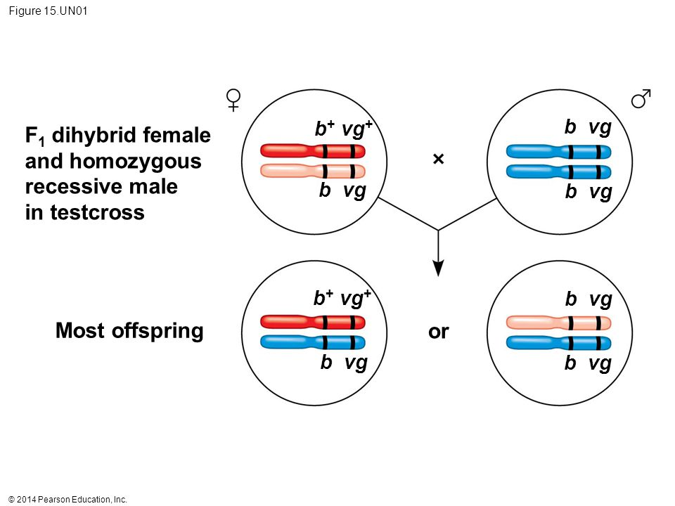© 2014 Pearson Education, Inc. Figure 15.UN01 Most offspring F 1 dihybrid female and homozygous recessive male in testcross or b + vg + b vg