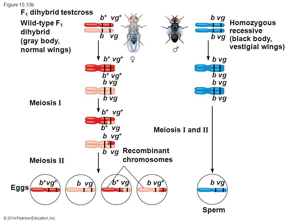 © 2014 Pearson Education, Inc. Figure 15.10b Wild-type F 1 dihybrid (gray body, normal wings) F 1 dihybrid testcross Homozygous recessive (black body,