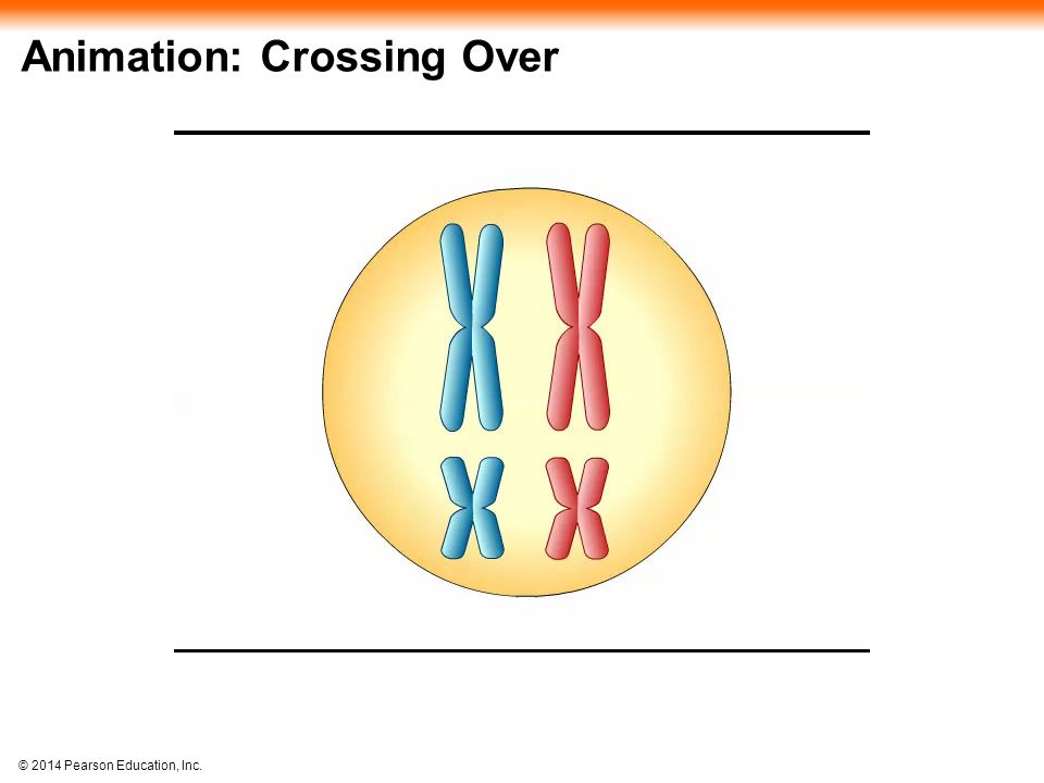 © 2014 Pearson Education, Inc. Animation: Crossing Over