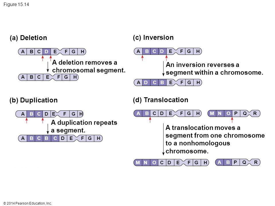© 2014 Pearson Education, Inc. Figure 15.14 (a) Deletion (c) Inversion (b) Duplication (d) Translocation A deletion removes a chromosomal segment. An