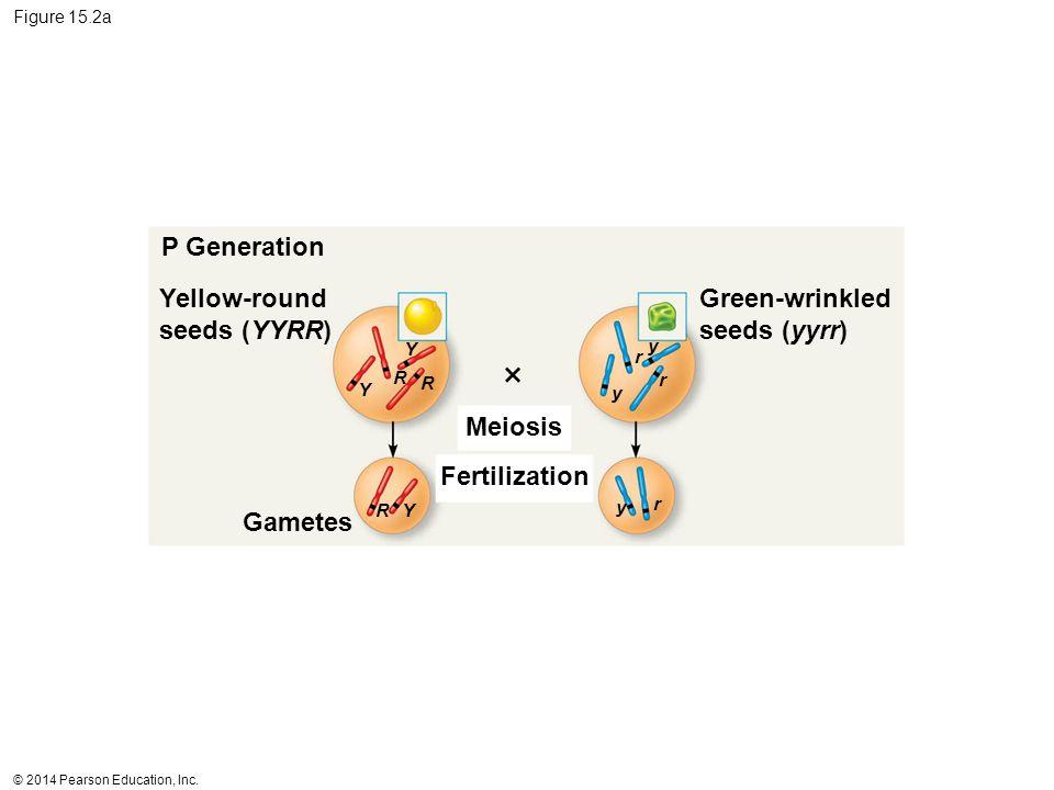 © 2014 Pearson Education, Inc. Figure 15.2a P Generation Yellow-round seeds (YYRR) Meiosis Fertilization Green-wrinkled seeds (yyrr) Y Y Y R R R y y y