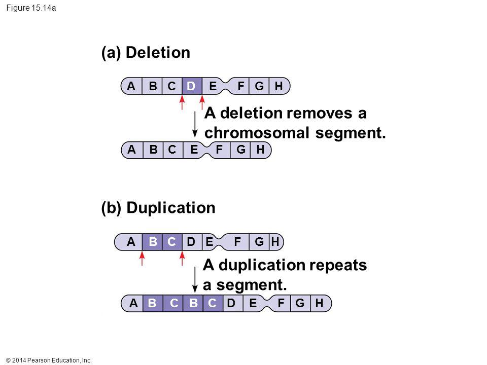 © 2014 Pearson Education, Inc. Figure 15.14a (a) Deletion (b) Duplication A deletion removes a chromosomal segment. A duplication repeats a segment. A