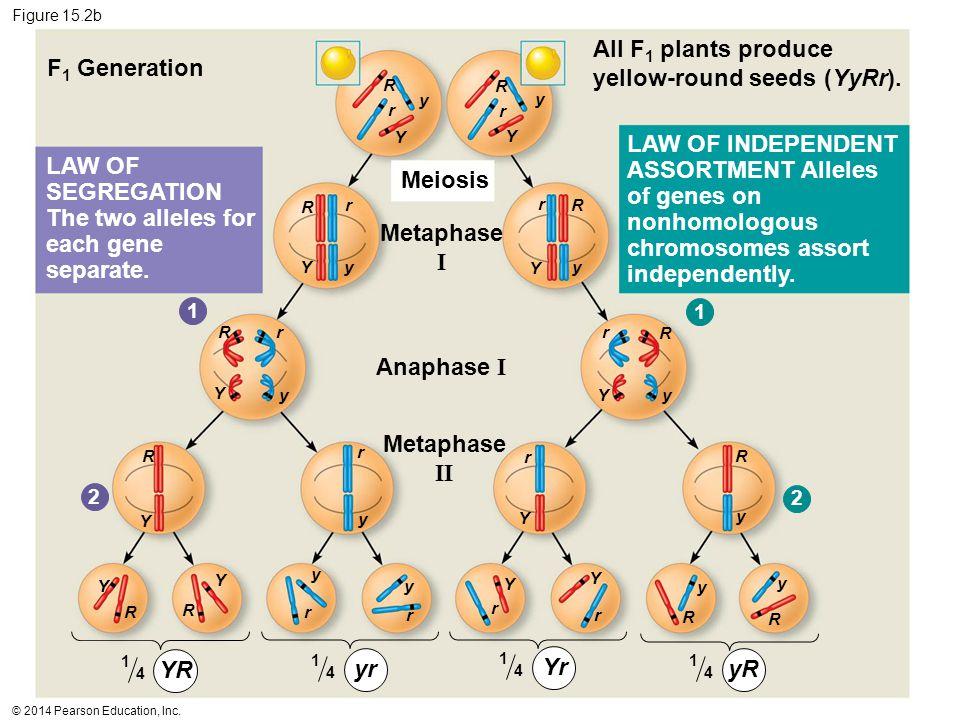 © 2014 Pearson Education, Inc. Figure 15.2b F 1 Generation Meiosis Metaphase I Anaphase I Metaphase II All F 1 plants produce yellow-round seeds (YyRr