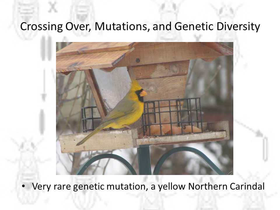 Crossing Over, Mutations, and Genetic Diversity Very rare genetic mutation, a yellow Northern Carindal