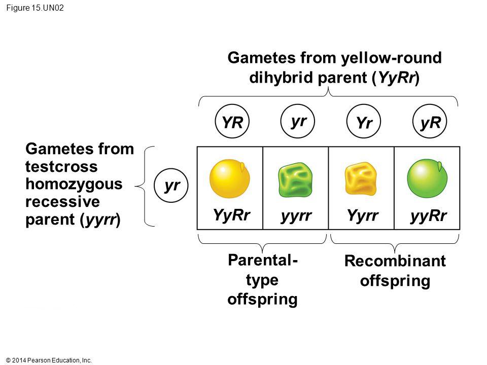© 2014 Pearson Education, Inc. Figure 15.UN02 Gametes from yellow-round dihybrid parent (YyRr) Gametes from testcross homozygous recessive parent (yyr
