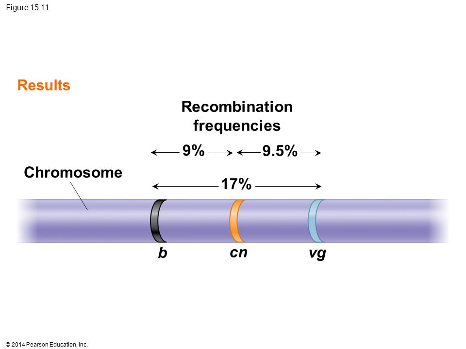 © 2014 Pearson Education, Inc. Figure 15.11 Chromosome Results Recombination frequencies 9% 9.5% 17% b cn vg