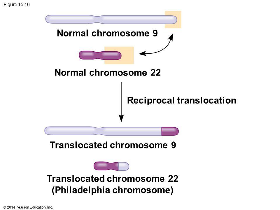 © 2014 Pearson Education, Inc. Figure 15.16 Normal chromosome 9 Normal chromosome 22 Reciprocal translocation Translocated chromosome 9 Translocated c
