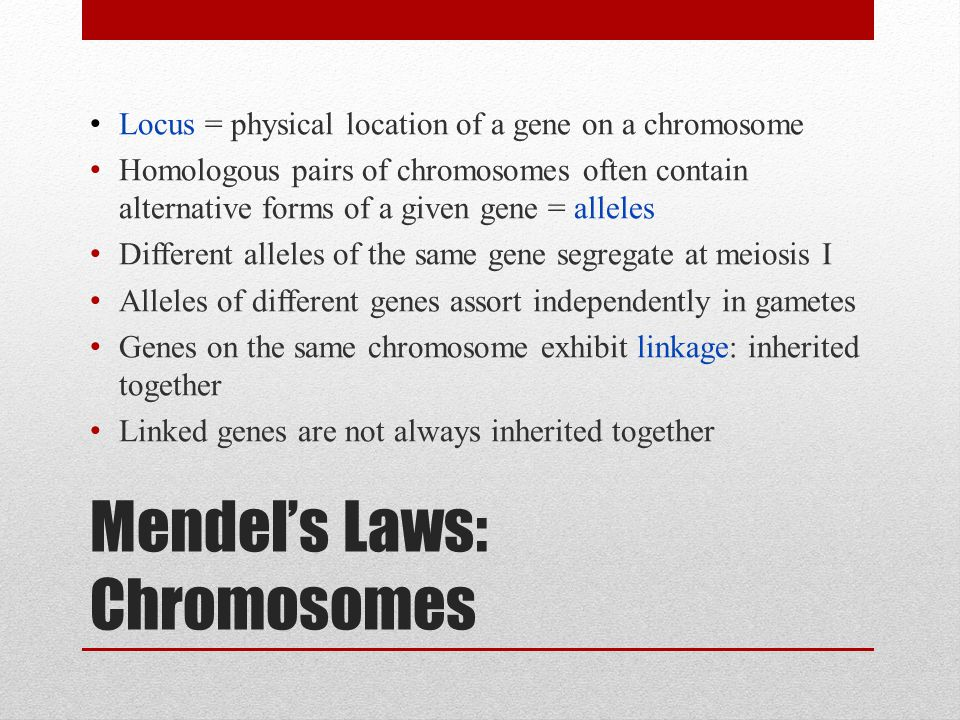 Mendel's Laws: Chromosomes Locus = physical location of a gene on a chromosome Homologous pairs of chromosomes often contain alternative forms of a given gene = alleles Different alleles of the same gene segregate at meiosis I Alleles of different genes assort independently in gametes Genes on the same chromosome exhibit linkage: inherited together Linked genes are not always inherited together