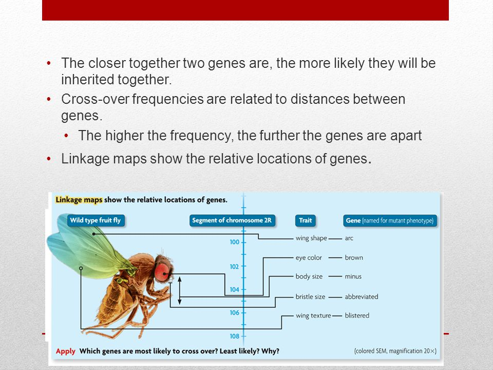 The closer together two genes are, the more likely they will be inherited together.