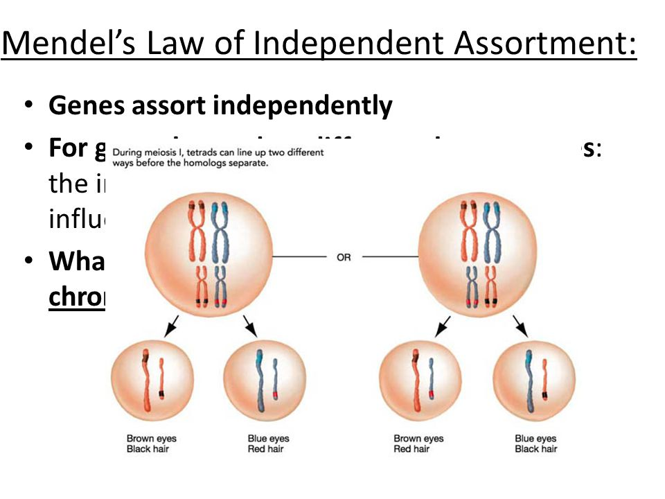 Mendel's Law of Independent Assortment: Genes assort independently For genes located on different chromosomes: the inheritance of one gene does not in