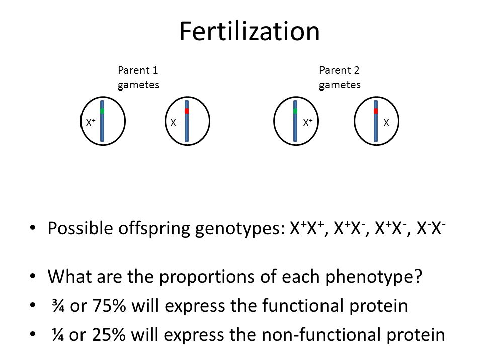 Fertilization Possible offspring genotypes: X + X +, X + X -, X + X -, X - X - What are the proportions of each phenotype? ¾ or 75% will express the f