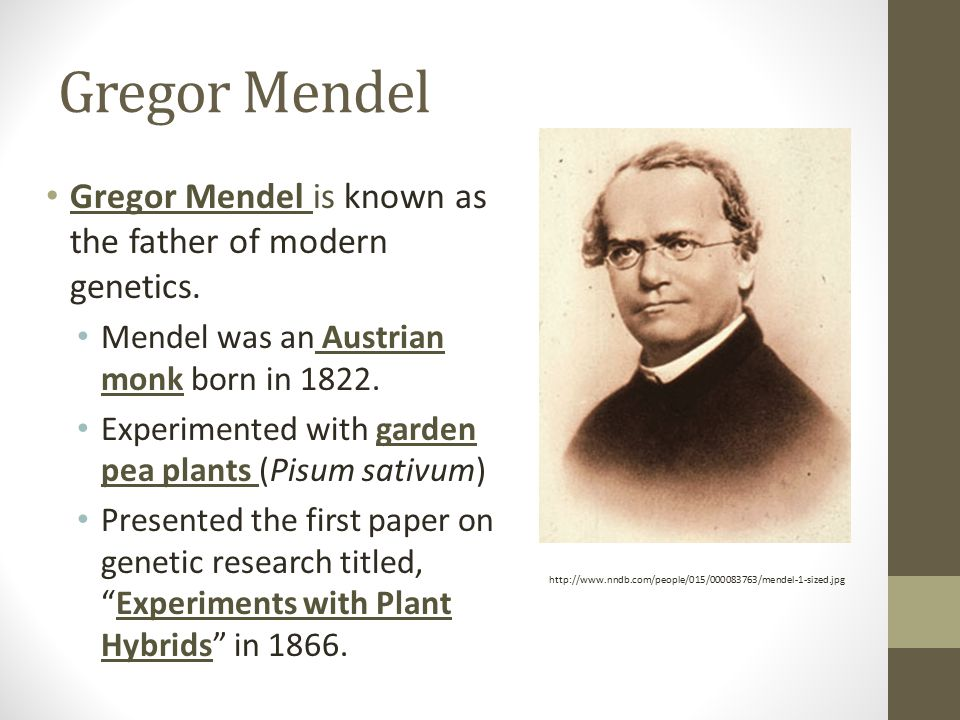 Gregor Mendel Gregor Mendel is known as the father of modern genetics. Mendel was an Austrian monk born in 1822. Experimented with garden pea plants (