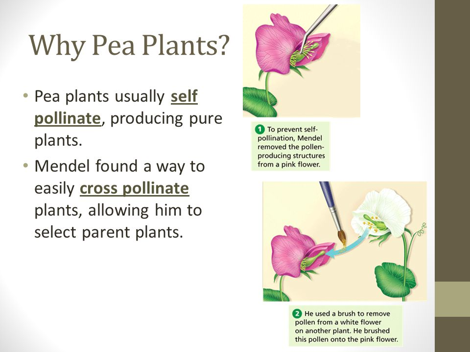 Why Pea Plants? Pea plants usually self pollinate, producing pure plants. Mendel found a way to easily cross pollinate plants, allowing him to select