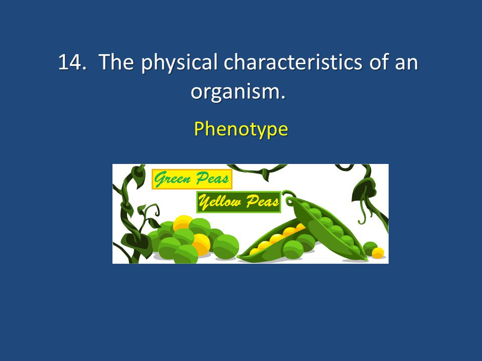 14. The physical characteristics of an organism. Phenotype