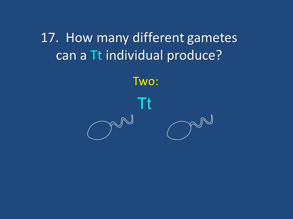 17. How many different gametes can a Tt individual produce? Two: T t