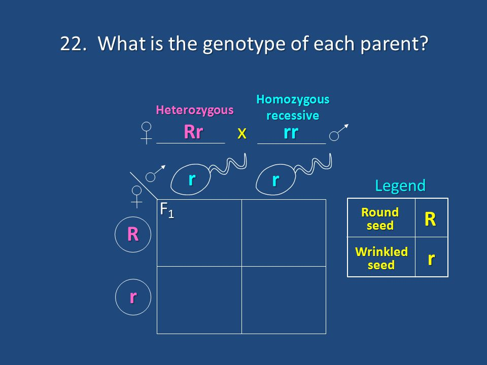 22. What is the genotype of each parent? r r R r R Round seed Wrinkled seed rLegendHeterozygous Homozygous recessive F1F1F1F1 x Rr rr