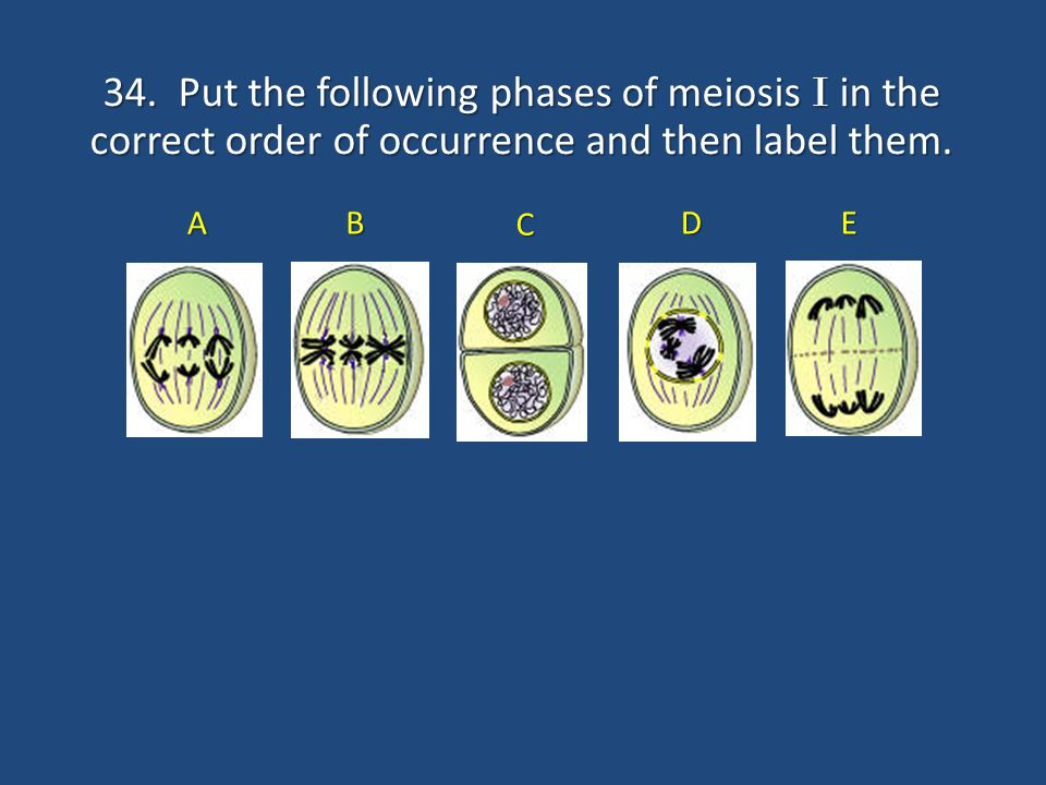 34. Put the following phases of meiosis I in the correct order of occurrence and then label them. C DE A B