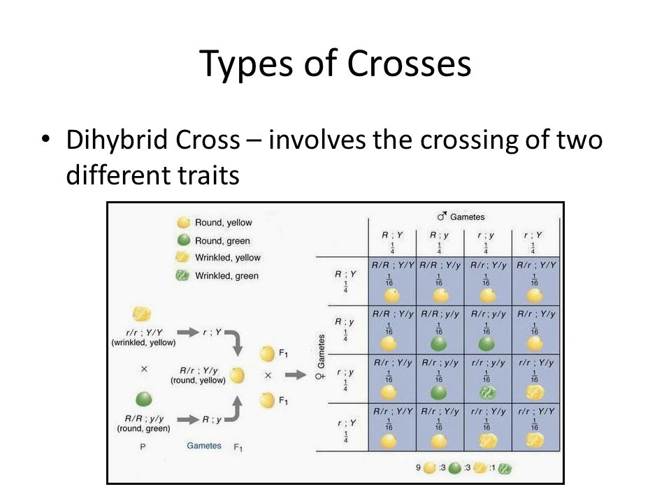 Types of Crosses Dihybrid Cross – involves the crossing of two different traits