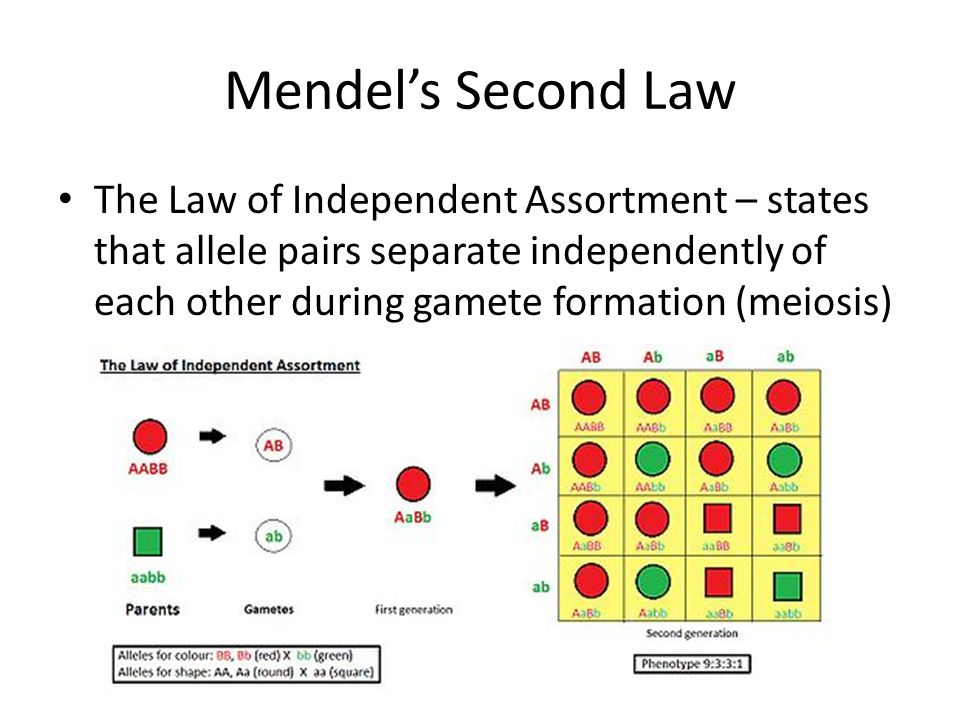 Mendel's Second Law The Law of Independent Assortment – states that allele pairs separate independently of each other during gamete formation (meiosis)