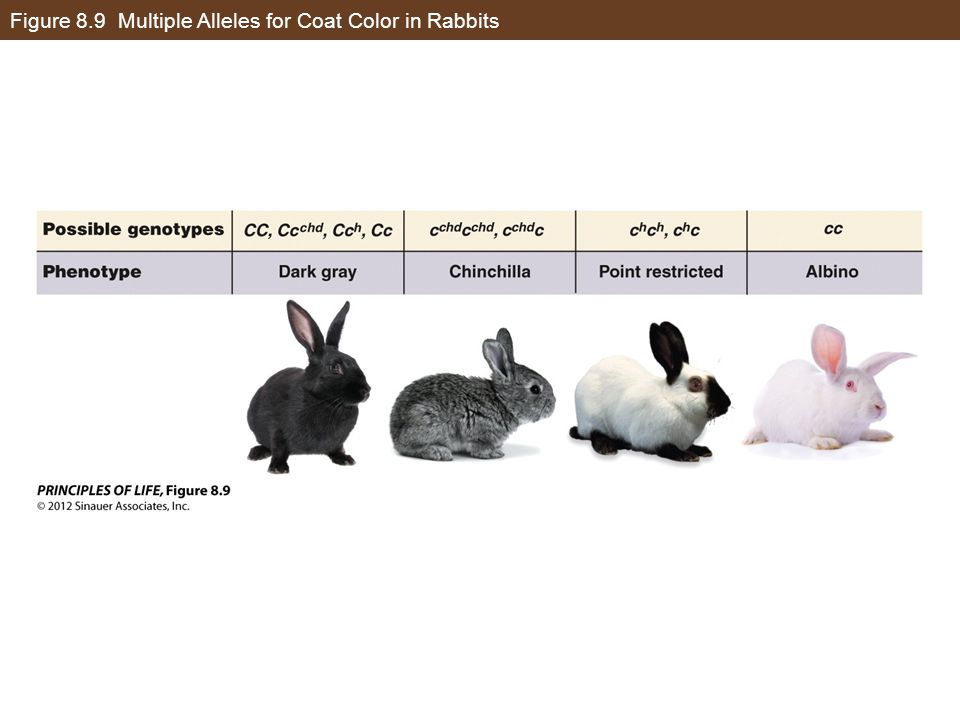 Figure 8.9 Multiple Alleles for Coat Color in Rabbits