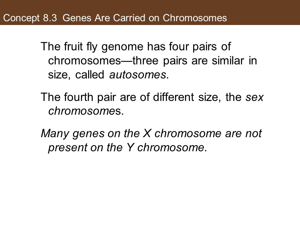 Concept 8.3 Genes Are Carried on Chromosomes The fruit fly genome has four pairs of chromosomes—three pairs are similar in size, called autosomes. The