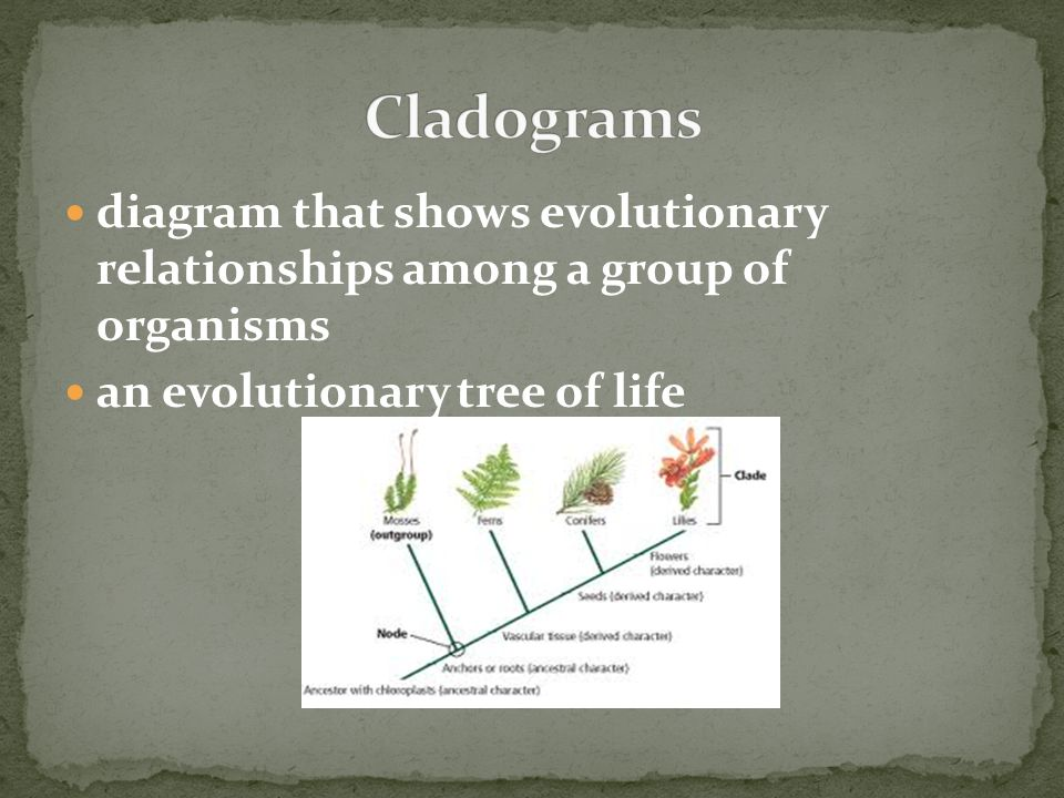 diagram that shows evolutionary relationships among a group of organisms an evolutionary tree of life