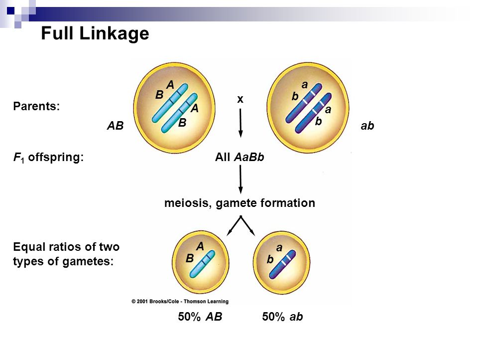 Full Linkage x ABab 50% AB50% ab All AaBb meiosis, gamete formation Parents: F 1 offspring: Equal ratios of two types of gametes: A B a b A B a b a b